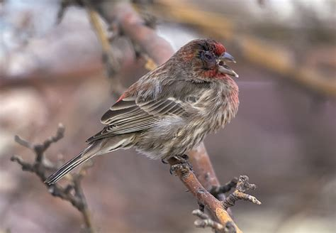 house finch conjunctivitis male house finch with mycoplasmal conjunctivitis flickr