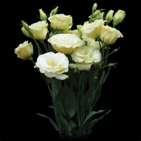 fiori lisianthus lisianthus
