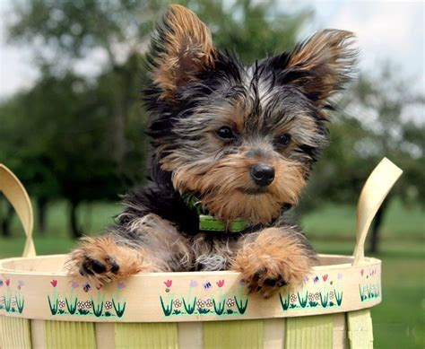 different types of yorkie dogs terrier puppy