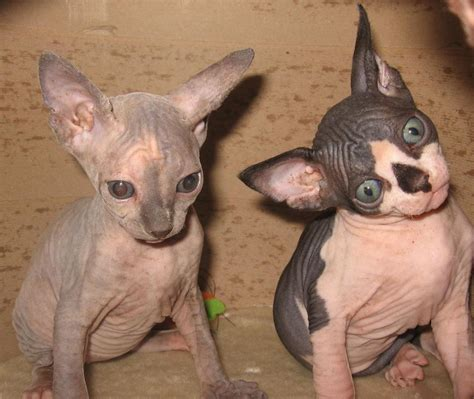 SPHYNX KITTENS GLOSSY POSTER PICTURE PHOTO cat cute funny