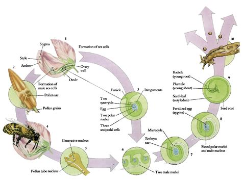 pollination diagram pollination cycle related keywords pollination cycle