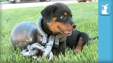 where to find rottweiler puppies rottweiler puppy gets the ol and chain puppy
