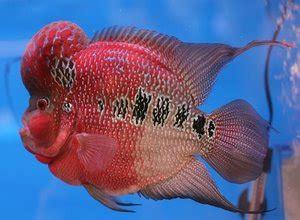 Pakan Ikan Louhan Untuk Warna makanan ikan louhan biar merah jenong dan cepat besar