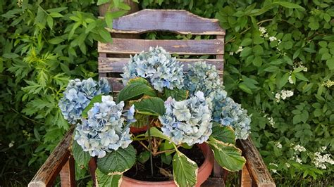 flowers dying hydrangea gardening landscaping stack