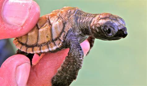 Peliharaan Anakan Kura Kura Baby Turtle kura kura black tomato