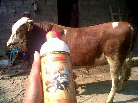 Obat Fermentasi Pakan Ternak Sapi viterna plus dan tangguh probiotik obat fermentasi pakan