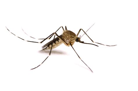 rise in mosquito population predicted locally wlds