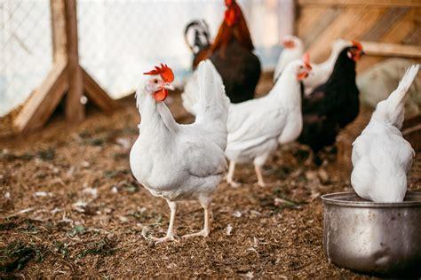 Kipas Untuk Ayam Broiler memilih ayam segar hasil budidaya ayam broiler untuk dikonsumsi