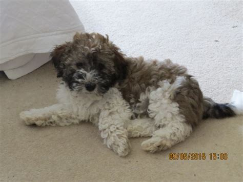 havanese dogs for sale uk havanese puppies for sale in uk breeds picture