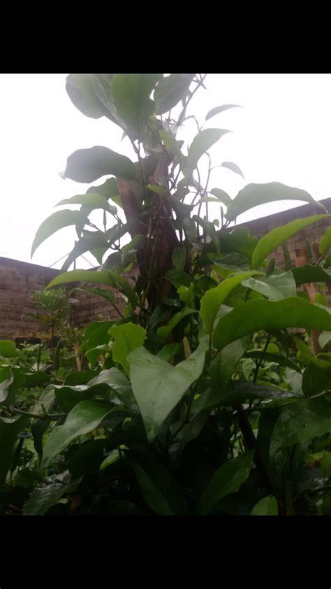 Cabe Jawa Cabe Jamu Bubuk 1kg prospek bisnis pertanian cabe jawa yang eksotis