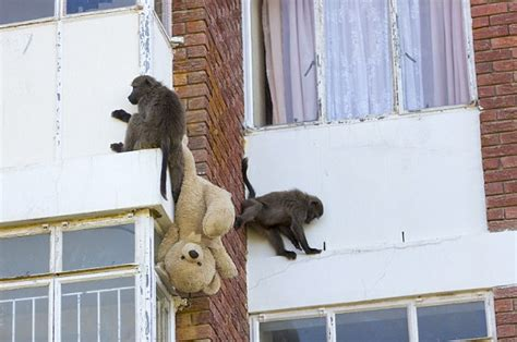 baboons attack cape of baboons invade cape town housing estates foreign affairs