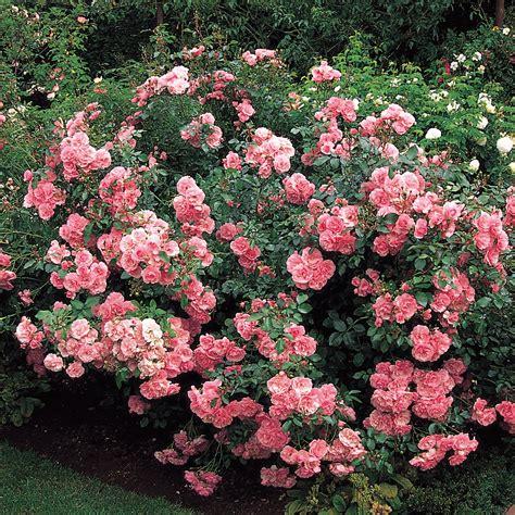 bonica modern shrub roses shrub roses type