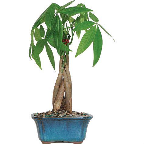 Money Tree Bonsai Tree Sale $18.75   BuyVia