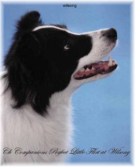 border collie puppies for sale in ky border collie puppies for sale wilsong stinkerbell s chionship