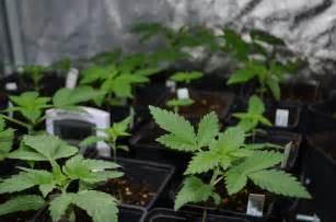 graines de cannabis d int 233 rieur quelles vari 233 t 233 s indoor
