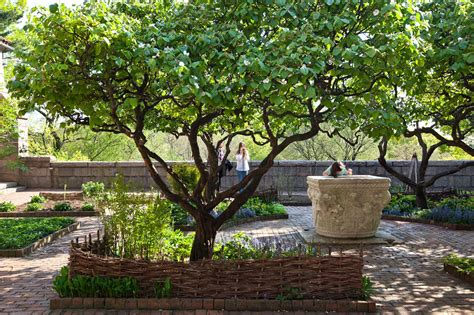 fruit trees new york in praise of the misunderstood quince tree the new york