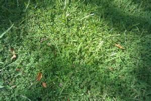 weeds in lawns identification design bild