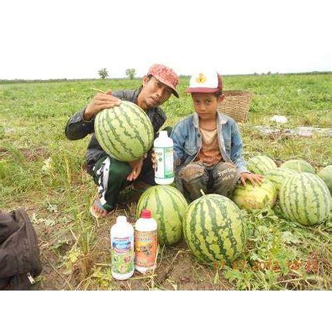 Pupuk Hormon Hantu Untuk Sawit jual pupuk orgaik tanaman semangka 25 kg per buah oleh