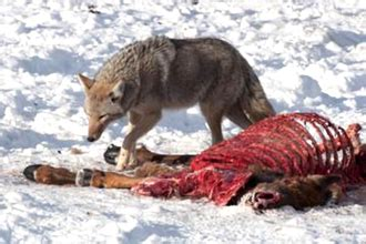 facts about coyotes for kids coyote food chain what do they eat foremost coyote hunting