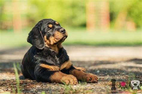 fotos de rottweiler fotos de rottweiler razas de perros