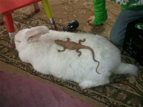 Rabbit Shedding by Help Moulting Bunny Binkybunny House Rabbit