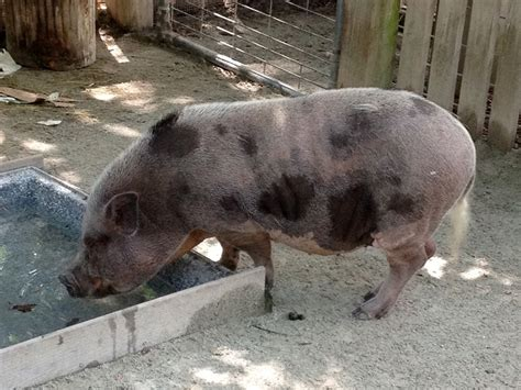 pig pot bellied pig info photo 3