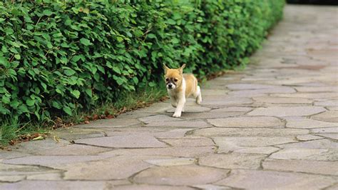 shiba inu puppies indiana shiba inu puppy in park lovely puppies 1366x768 10wallpaper
