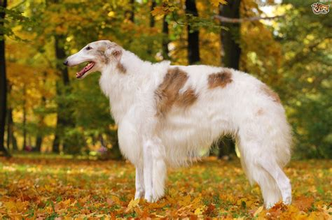 when is a puppy an an in depth look at borzoi health and wellness pets4homes