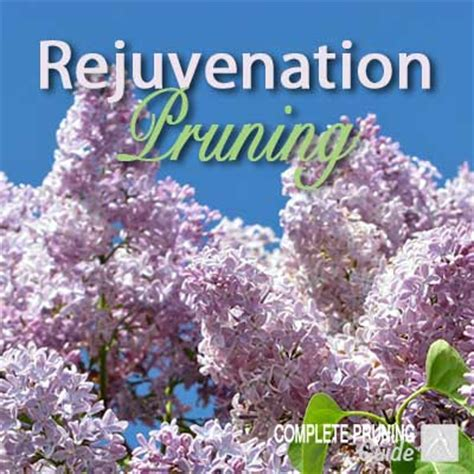 renovation pruning of flowering shrubs rejuvenation pruning what when why how