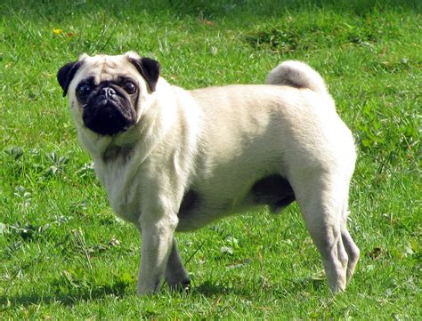 are pugs to pug simple the free encyclopedia