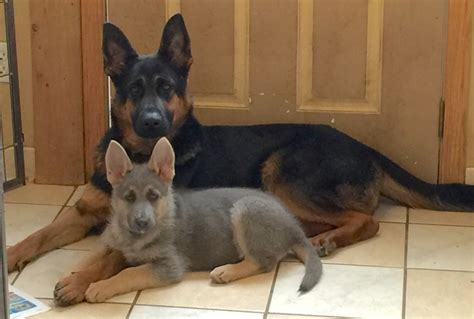 german shepherd weight 2017 facts about small blue german shepherd pictures images wallpapers
