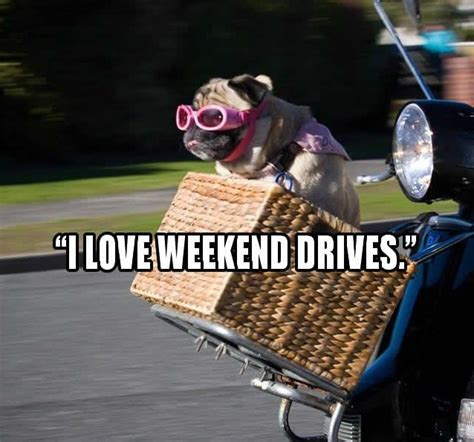 Weekend Dog Meme - 20 hilarious pug memes will make your day