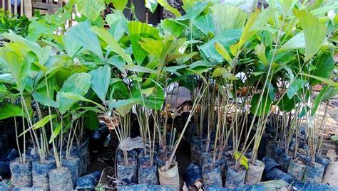 Jual Bibit Aren Bogor jual bibit aren di purworejo jual bibit tanaman unggul