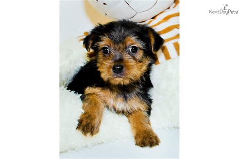 free yorkie poo puppies meet a yorkiepoo yorkie poo puppy for sale