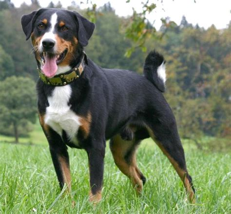 appenzeller mountain saved by dogs swiss mountain dogs appenzeller entlebucher bernese and greater swiss