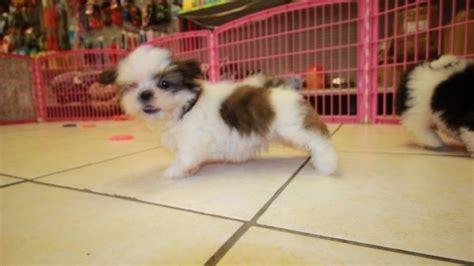maltese puppies for sale in augusta ga affectionate malti tzu puppies for sale in atlanta ga mix of maltese and shih
