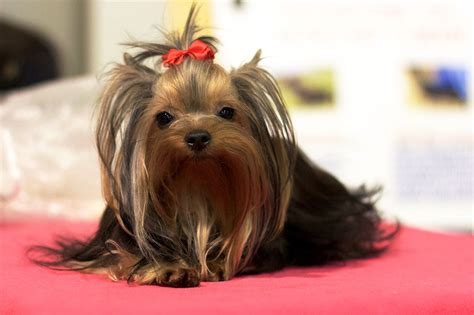 yorkie personality traits terrier facts pictures price and breeds