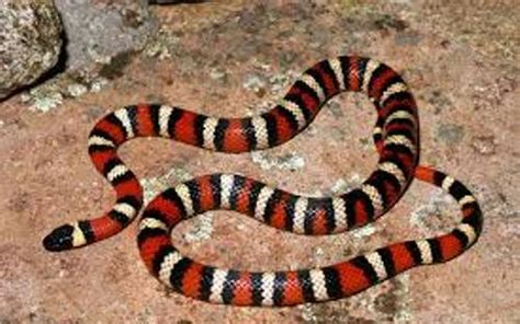 10 facts about california king snakes fact file