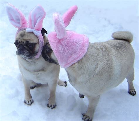 pug bunny pug easter bunny pugs photo 33876443 fanpop