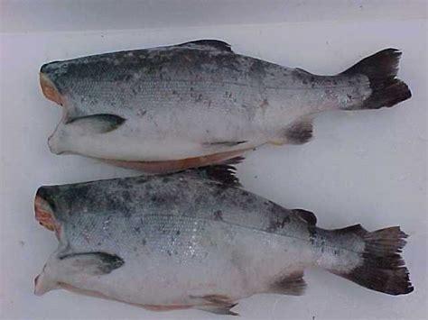 Salmon Fillet Norwey Frozen 200gr Premium salmon trout products chile salmon trout supplier