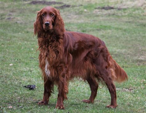 irish setter dog irish setters irish setter dog breeds picture