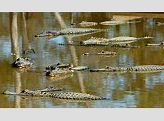 Too many gator hunters in Texas - Beaumont Enterprise Mauriceville News