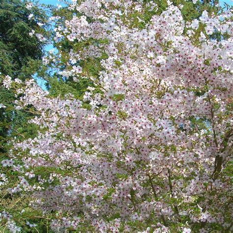 prunus incisa the bride fuji cherry trees flowering cherry tree
