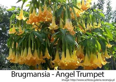 angel trumpet plants growing brugmansia learn trumpet tree care tips how to