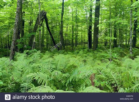 Plants That Live In The Forest Floor by Densely Growing Fern Plants On Forest Floor And Lush