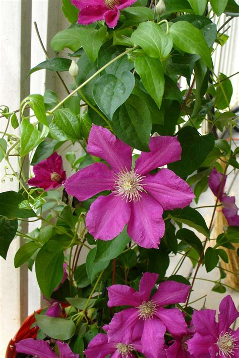 flowering vines how to choose plant and grow vines hgtv