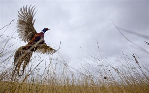 how to a to pheasant hunt official dakota travel tourism guide
