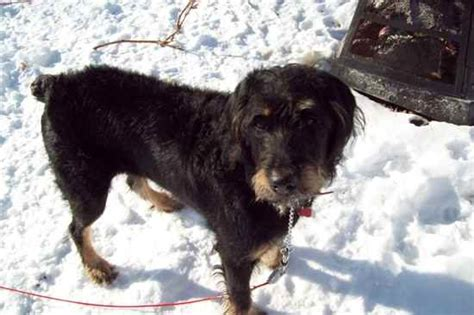 rottweiler poodle mix puppies rottle rottweiler poodle mix info temperament puppies pictures