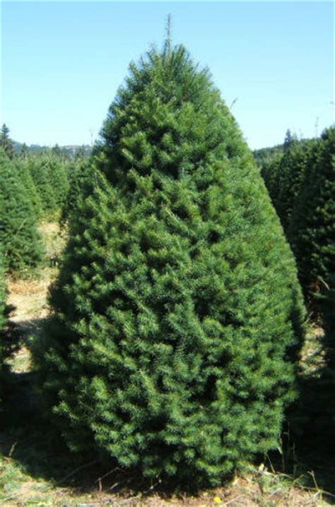 douglas fir christmas tree care tree types available at big wave dave s