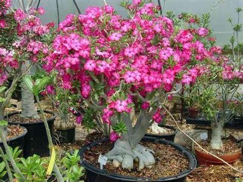 fiore rosa deserto rosa deserto pianta piante grasse caratteristiche